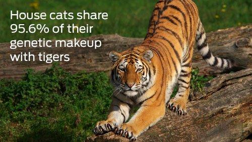 Cats & Tigers
